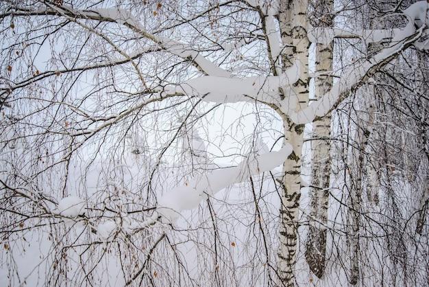 Os galhos brancos como a neve das bétulas na floresta de inverno