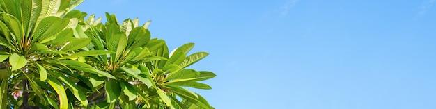 Os galhos verdes da árvore plumeria em um dia ensolarado