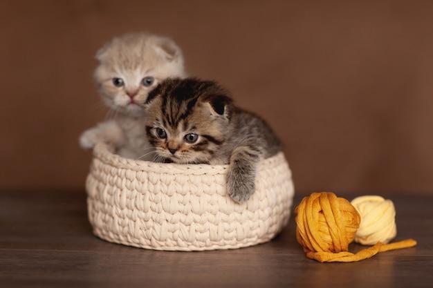 Os gatinhos britânicos bonitos de cores bonitas olham fora da cesta