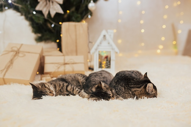Os gatinhos dormem perto da árvore e dos presentes de natal.