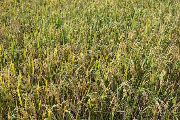 Os grãos de arroz estão à espera de serem colhidos.