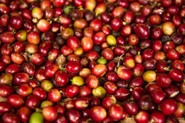 Os grãos de café estão esperando para serem selecionados nas plantações de café no norte da tailândia,