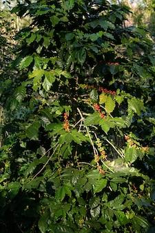 Os grãos de café são ramos maduros, colhidos, das plantas de café arábica na província de changmai, norte da tailândia.