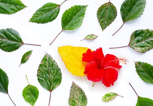 Os hibiscus florescem com as folhas no fundo branco. copie o espaço