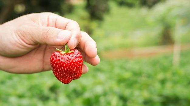 Os homens escolhem uma fruta morango vermelha.