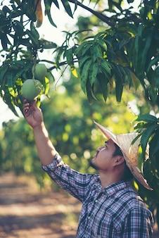 Os jovens agricultores estão verificando o rendimento no pomar, jardim de manga.