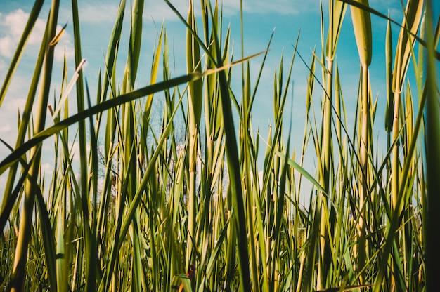 Os juncos novos brotam em um dia ensolarado morno contra um céu azul claro. prado verde natural