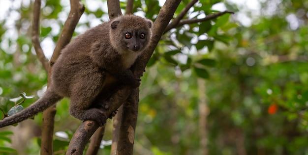 Os lêmures de bambu engraçados em um galho de árvore observam os visitantes