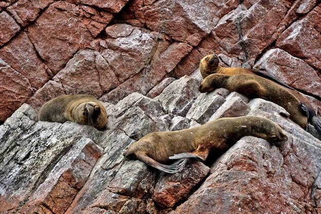 Os leões-marinhos descansam em rochas avermelhadas nas ilhas ballestas, peru.