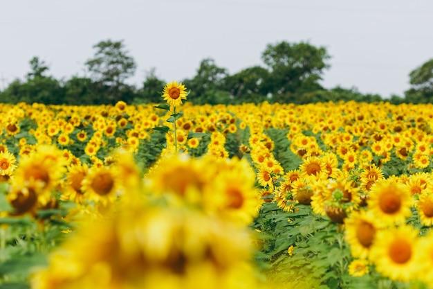 Os lindos girassóis amarelos solitários no campo