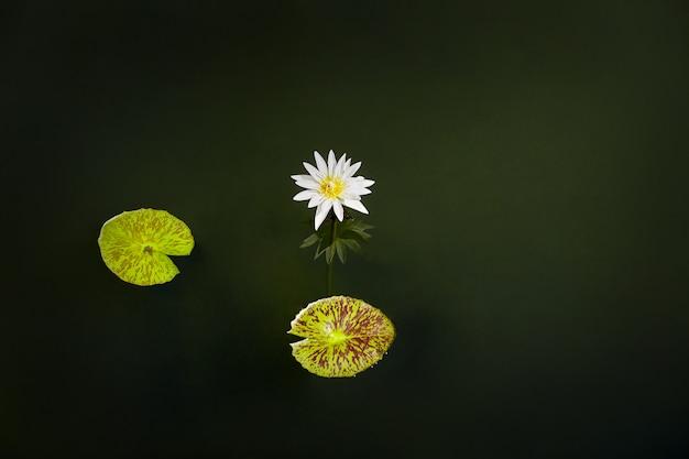 Os lótus brancos florescem e florescendo na lagoa com 2 folhas. fundo da natureza.