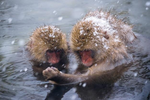 Os macacos da neve (macacos japoneses) tomam banho nas onsen hot springs enquanto a neve cai