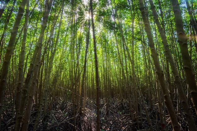 Os manguezais da floresta em chanthaburi tailândia.