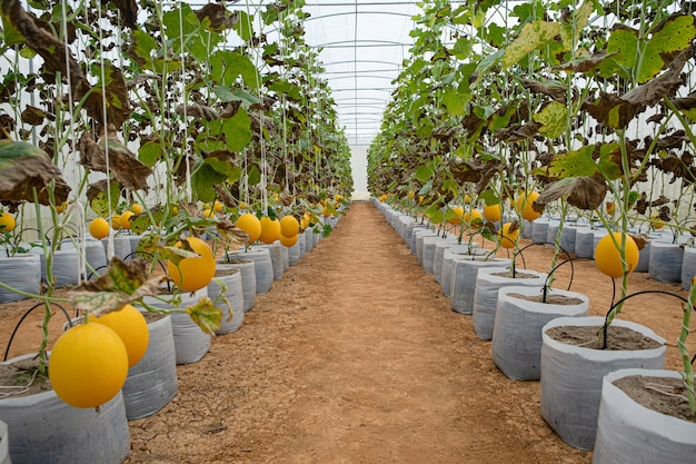 Os melões são cultivados pelo sistema hidropônico na fazenda com efeito de estufa