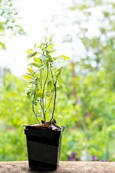 Os mirtilos plantam mudas em um vaso de plástico com solo natural.