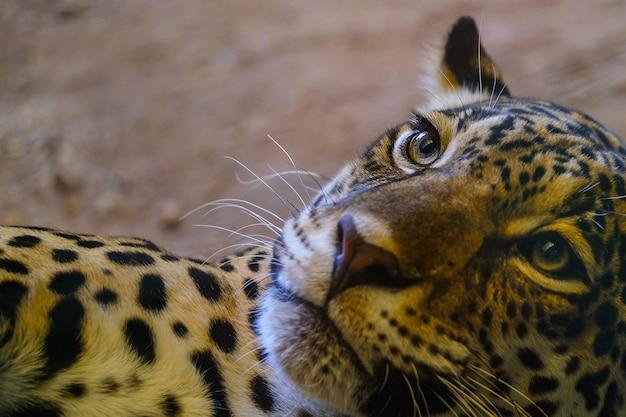 Os olhos de leopardo estão olhando para o topo.