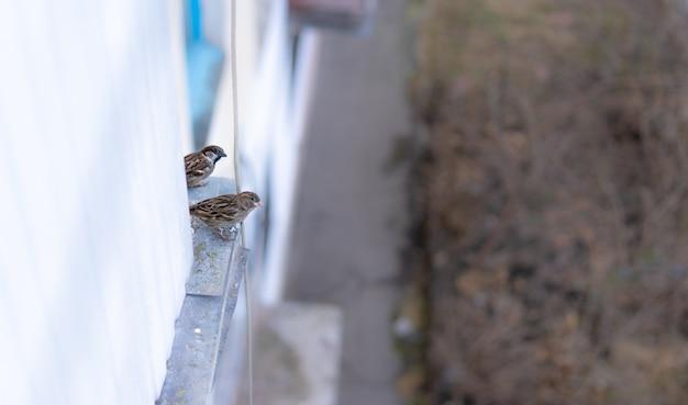 Os pardais estão sentados sob a varanda