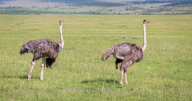 Os pássaros de avestruz estão pastando no prado no campo