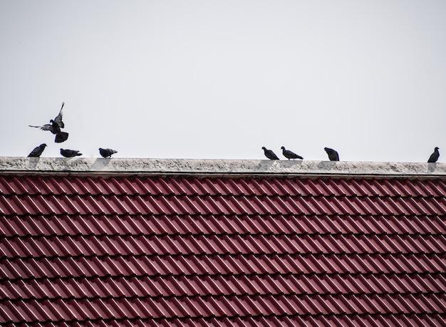 Os pássaros nas telhas