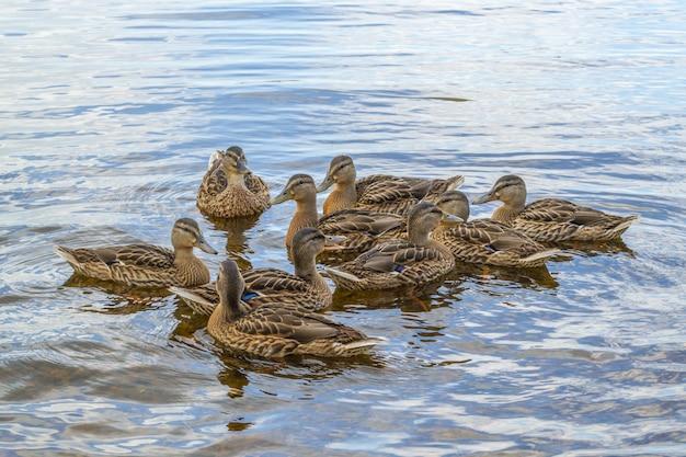 Os patos do pato selvagem com patinhos nadam na água da lagoa.