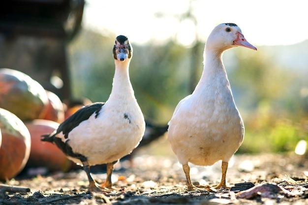 Os patos se alimentam de currais rurais tradicionais. detalhe de uma cabeça de pato. perto das aves aquáticas em pé no quintal do celeiro. conceito de criação de aves ao ar livre.