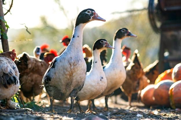 Os patos se alimentam de currais rurais tradicionais.