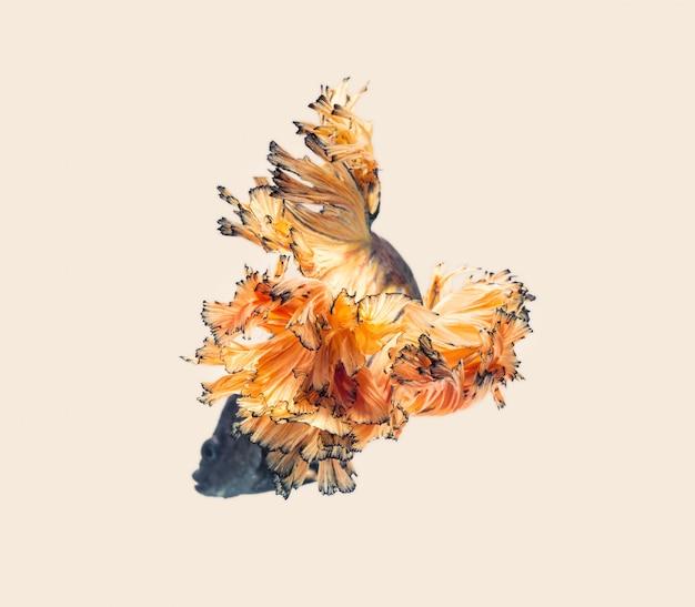 Os peixes de combate siameses mostram a bela cauda das barbatanas