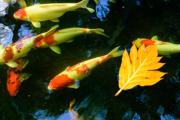 Os peixes extravagantes coloridos da carpa ou os peixes do koi estão nadando. natação de koi fish na lagoa.