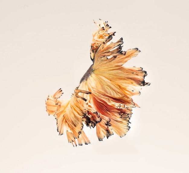 Os peixes-lutadores-siameses mostram a bela cauda das barbatanas como dança de balé.