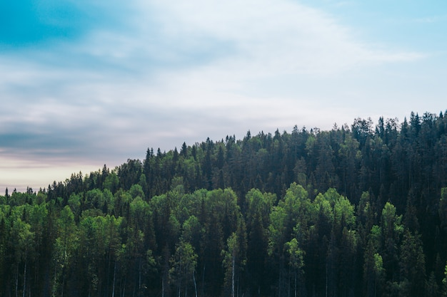 Os pinheiros altos na colina no fundo do céu azul