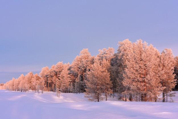 Os pinheiros em crescimento na floresta são iluminados pelo sol ao pôr do sol.