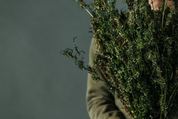 Os plantadores guardam árvores do cannabis em um fundo cinzento.