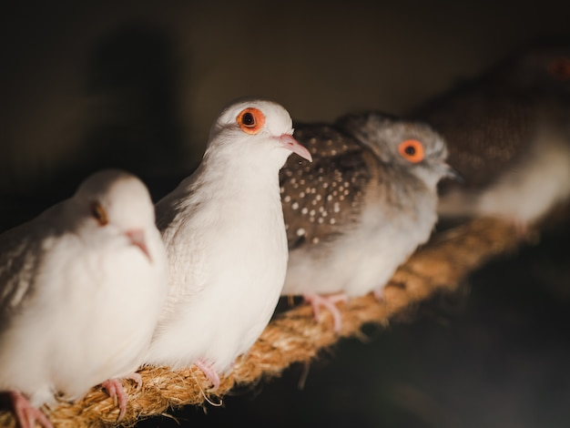 Os pombos do close up estão sentando-se na corda no fundo do borrão. animal, pássaro, conceito de família.