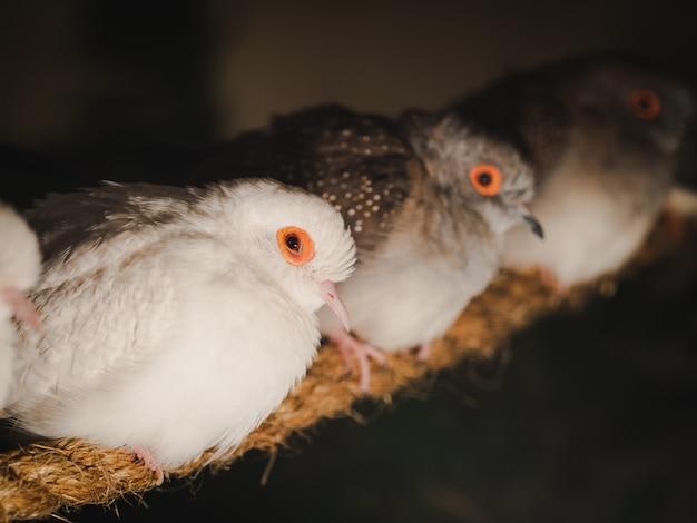 Os pombos do close up estão sentando-se na corda no fundo do borrão.