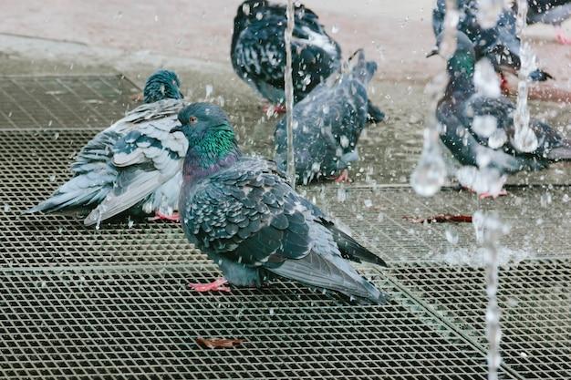 Os pombos molhados tomam banho na fonte da cidade no outono.