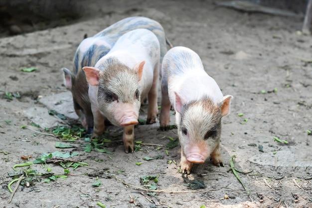 Os porcos vão comer. leitão esperando ração na fazenda. porquinhos brincando ao ar livre