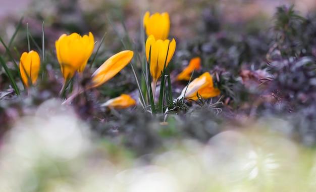 Os primeiros açafrões amarelos no jardim da primavera