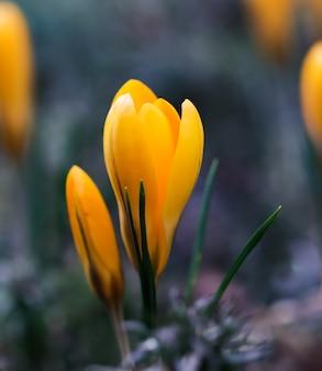 Os primeiros açafrões amarelos no meu jardim na primavera