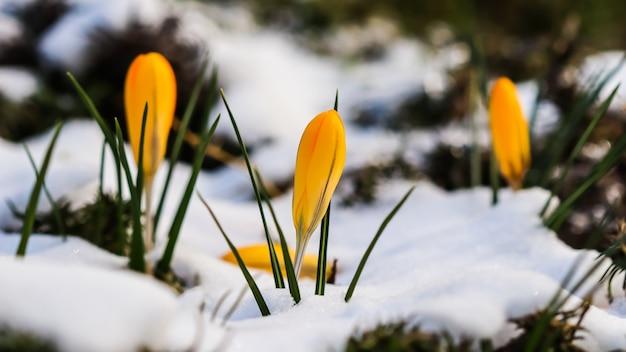 Os primeiros açafrões amarelos sob a neve no jardim em um dia ensolarado