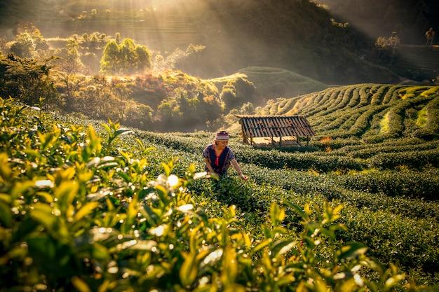 Os produtores de chá estão colhendo chá pela manhã, em meio a montanhas e neblina.
