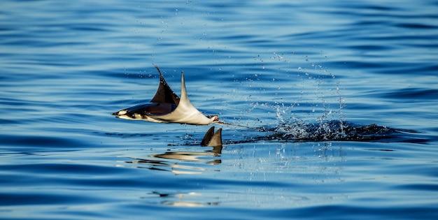 Os raios da mobula são saltos para fora da água. méxico