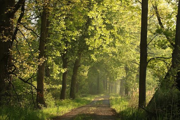 Os raios de sol iluminam as folhas de carvalho da primavera ao longo de uma estrada rural