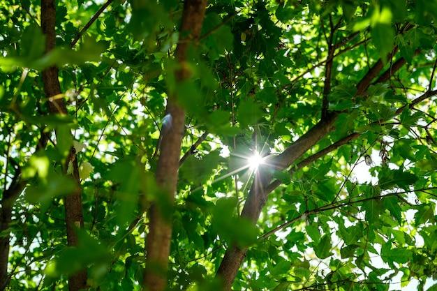Os raios do sol forte passam pelos galhos e folhas verdes da árvore.