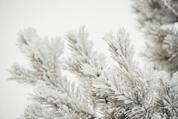 Os ramos da árvore conífera estão completamente cobertos de neve.