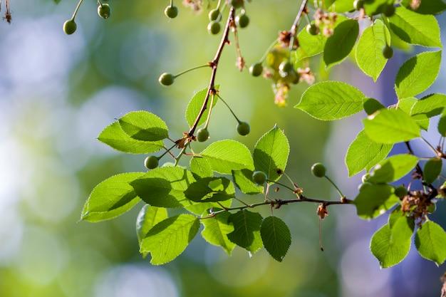 Os ramos da cereja com as folhas frescas brilhantes e as cerejas verdes pequenas iluminadas pelo sol de primavera no bokeh brilhante borrado copiam o fundo do espaço. beleza e proteção da natureza, agricultura e conceito de jardinagem.
