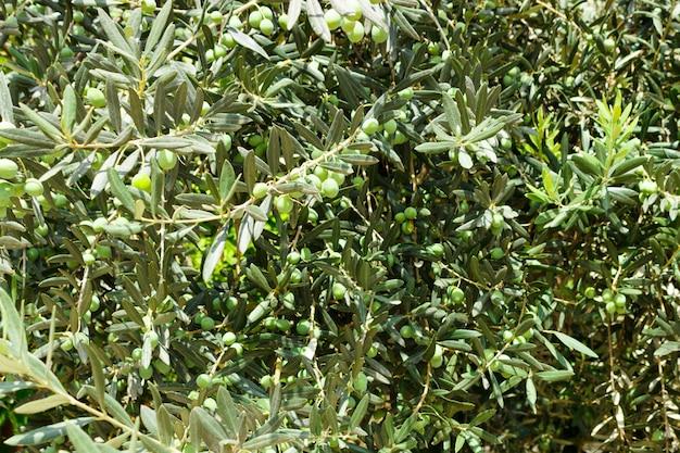 Os ramos da oliveira com frutas.