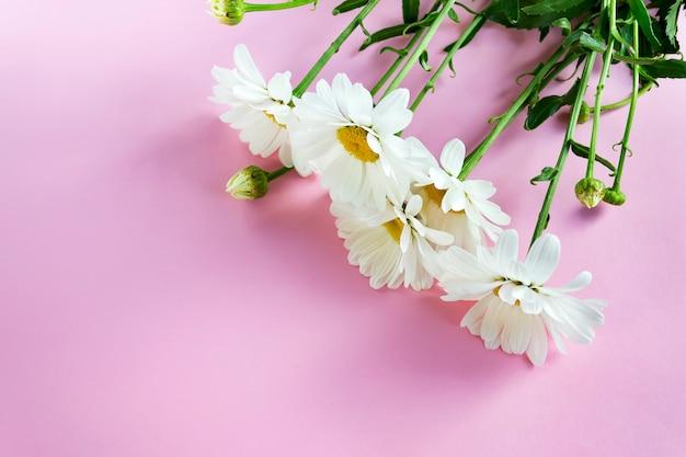Os ramos de camomila branca com folhas verdes em rosa