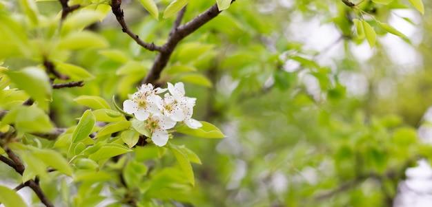 Os ramos de pera de florescência fecham-se acima. ramo de florescência com uma flor branca na primavera