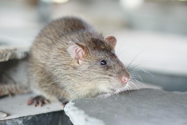 Os ratos foram criados na fazenda