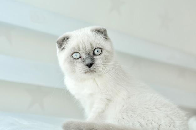 Os scottish brancos dobram o gato doméstico que senta-se na cama. lindo gatinho branco. retrato de gatinho escocês com olhos azuis.
